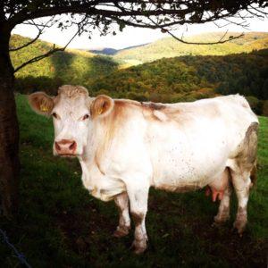 Schönste Kuh