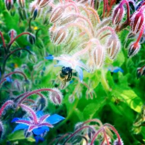 Boretsch mit Biene